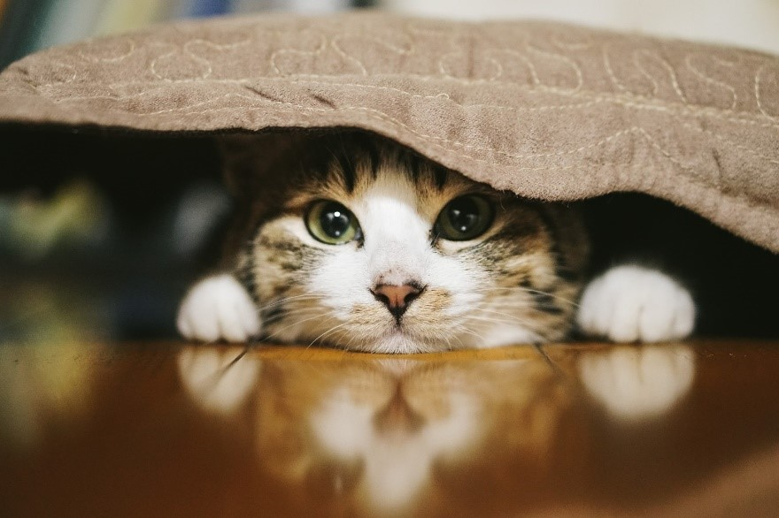 猫, 屋内, 座る, 横たわる が含まれている画像  自動的に生成された説明